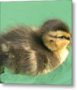 Duckling Close Up Metal Print