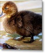 Duckling In Water Metal Print