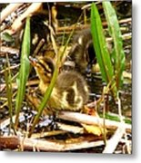 Ducklings 1 Metal Print