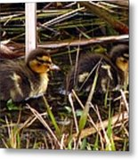Ducklings 2 Metal Print