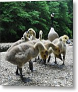 Ducklings Metal Print by Bill Cannon