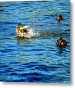 Ducks In Water Metal Print