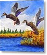 Ducks Landing In A Marsh Metal Print
