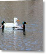 Ducks On Pond Metal Print