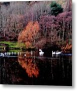 Duddingston Swan 17 Metal Print