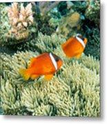 Dusky Clownfish Metal Print