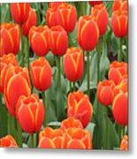 Dutch Tulips Metal Print