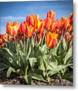 Dutch Tulips Second Shoot Of 2015 Part 3 Metal Print
