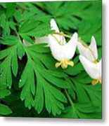 Dutchman's Breeches Metal Print