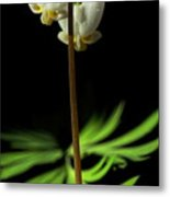 Dutchman's Breeches Narrow Format Metal Print