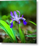 Dwarf Crested Iris Metal Print