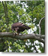 Eagle Eating A Fish Metal Print