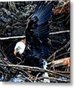 Eagle Getting Ready To Feed Metal Print