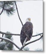 Eagle In A Pine Tree Metal Print