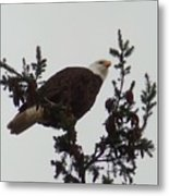 Eagle In A Tree Metal Print
