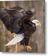 Eagle Landing On Perch Metal Print