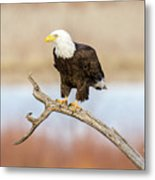 Eagle Overlooking Colorado River Metal Print