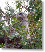 Eagle Owl Chick Metal Print