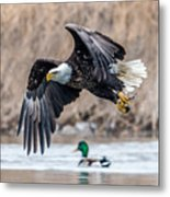 Eagle With Lunch Metal Print