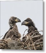 Eaglets Having A Chat Metal Print