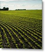 Early Growth Soybean Field Metal Print