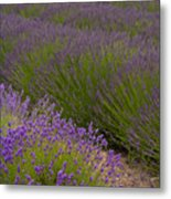 Early Morning Lavender Metal Print