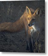 Early Morning Red Fox Prowl Metal Print