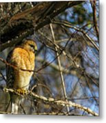 Early Morning Still Hunting  Coopers Hawk Art Metal Print