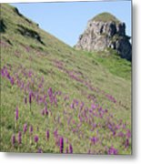Early Purple Orchids In The Derbyshire Dales Metal Print