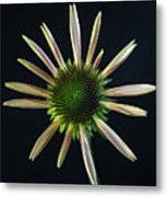 Early Stage Of Cone Flower Bloom Metal Print