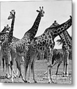 East Africa: Giraffe Metal Print