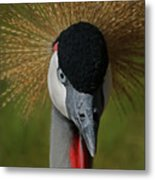 East African Crowned Crane Upclose Metal Print