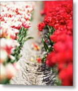 East And West A Dutch Tulip Story Metal Print