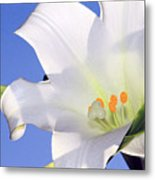 Easter Lily Back Lit By The Sun  Metal Print