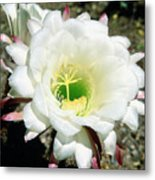 Easter Lily Cactus Flower Metal Print