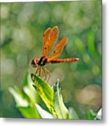 Eastern Amber Wing Dragonfly Metal Print