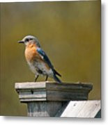 Eastern Blue Bird Metal Print