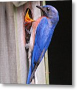 Eastern Bluebird And Chick Metal Print