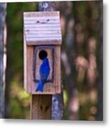 Eastern Bluebird Entering Home Metal Print