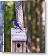 Eastern Bluebird Perched On Birdhouse 2 Metal Print