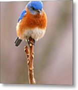 Eastern Bluebird Treetop Perch Metal Print