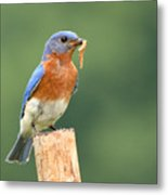 Eastern Bluebird With Caterpillar Lunch Metal Print
