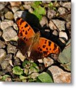Eastern Comma Butterfly Metal Print