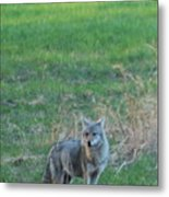 Eastern Coyote In Grass Metal Print