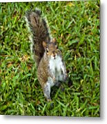 Eastern Gray Squirrel Metal Print