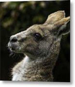 Eastern Grey Kangaroo Metal Print