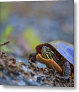 Eastern Painted Turtle Chrysemys Picta Metal Print