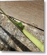 Eastern Pondhawk On A Leaf Metal Print