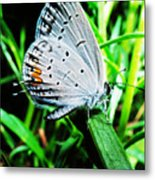 Eastern Tailed Blue Butterfly Metal Print