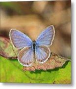 Eastern Tailed Blue Metal Print
